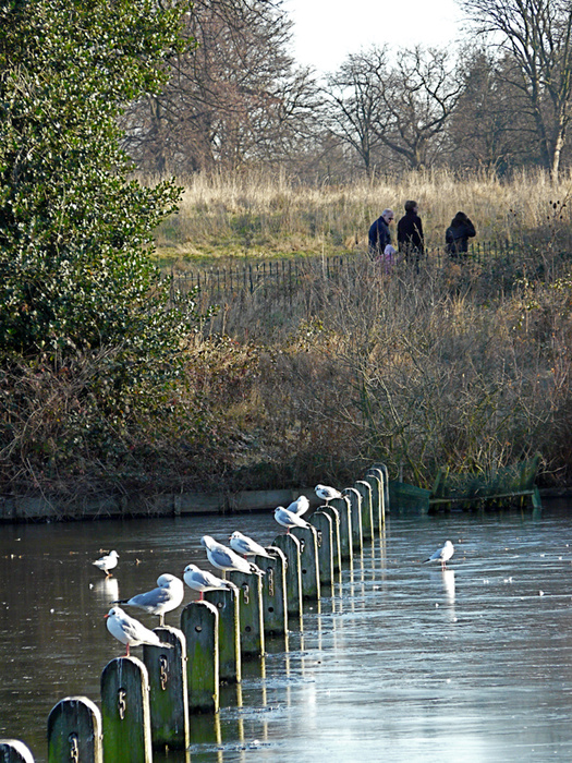 Serpentine & Gulls