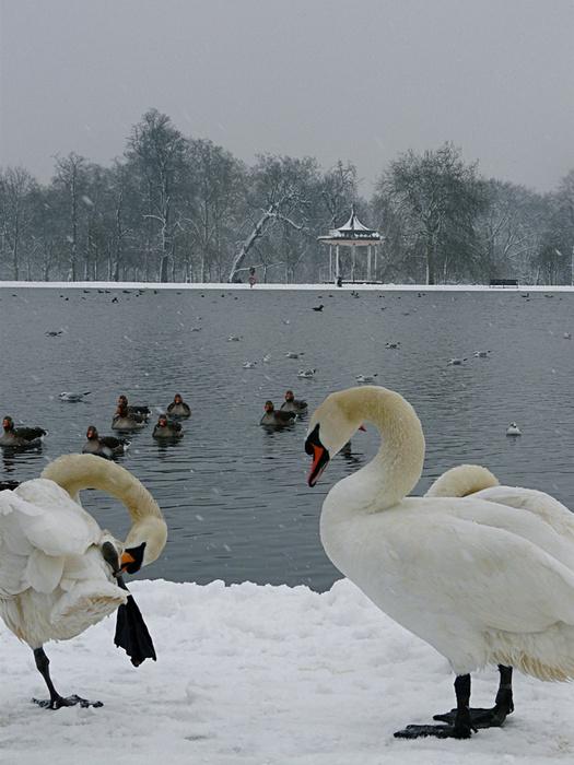 Swans Round Pond 2