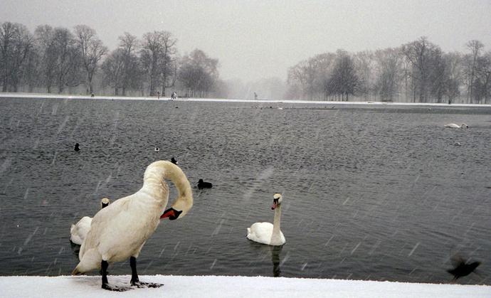 Swans Round Pond 3