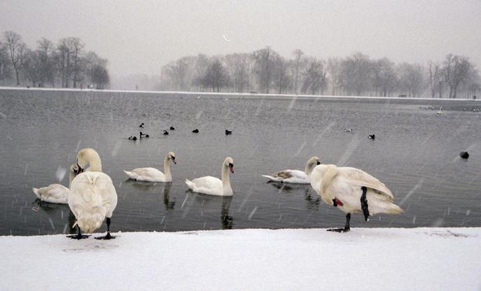 Swans Round Pond 4