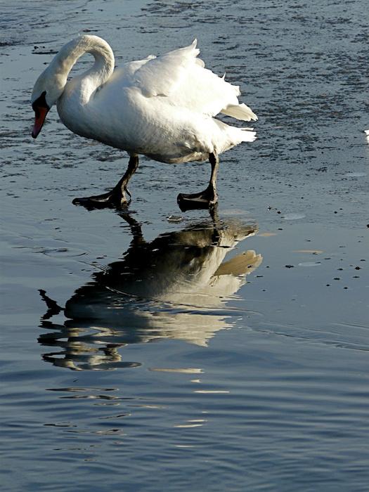 Swans Round Pond