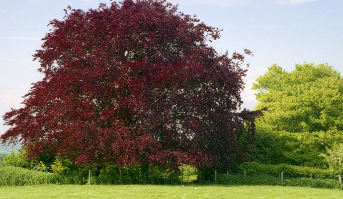 Copper Beech Didling