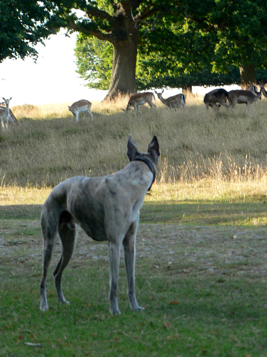 Rinaldo & Petworth Deer