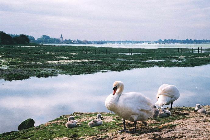 Swans Bosham